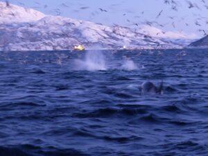 Orcas and humpbacks